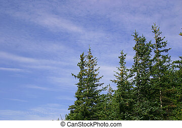 Sitka Spruce - Sitka spruce and bright blue skies over...