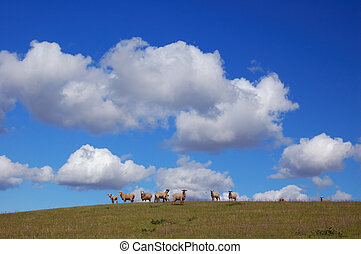 sheep grazing on the hillside in spring