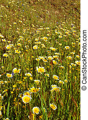 Forest of wildflwers - Wildflowers near Table Mountain,...