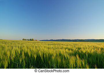 golden field - grassy field in the spring