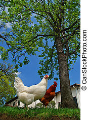hen and rooster - closeup of a hen and a rooster