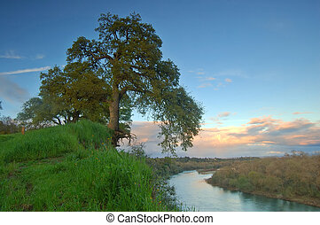 oak tree in spring - oak tree on a hillside in spring by a...