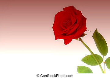Rose BG - Red Rose with wine background