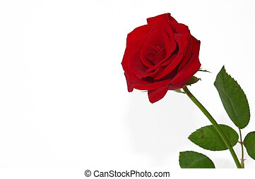 Rose BG - Red Rose with white background