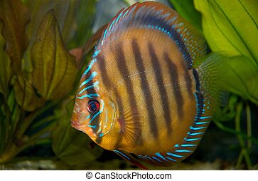 Discus fish in tank
