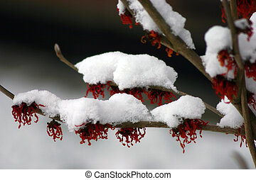 winter blossoms - fire and ice - witch hazel with snow cover