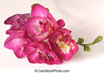 pink freesia - details of a pink freesia flower head