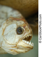 Dried dead piranha fish teeth closeup macro