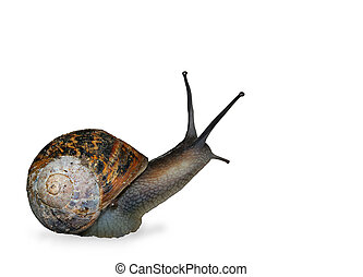 The Snail - Snail isolated on a white background