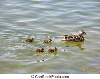 duck with ducklings - a duck with some ducklings