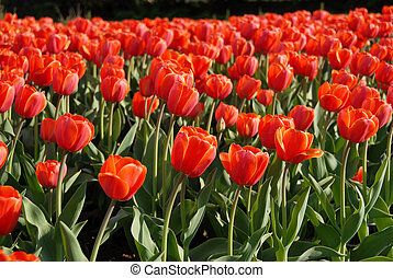 Red tulips - tulip festival in Ottawa