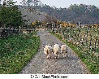 Sheep walking along a road
