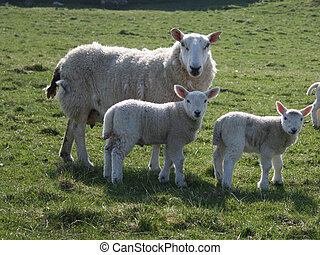 Sheep with two lambs