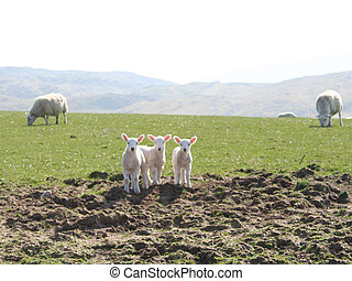 three lambs starring
