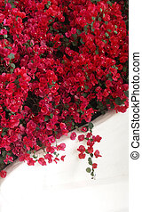 background, balcony, boganvilla, bougainvillea, bouganvilla,...