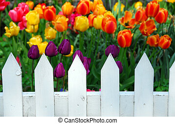 Tulips white fence - Colorful tulips behing white fence