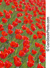 red tulips - background from tulips