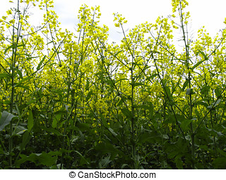rape blossoms - The blossoming rape is strange - light and...