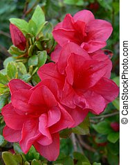 Hot pink Azalea - Vibrant pink Azalea with beautiful...