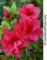 Hot pink Azalea - Vibrant pink Azalea with beautiful...
