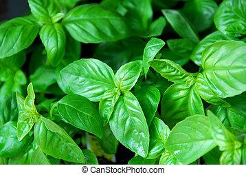 Fresh basil - Fresh green basil
