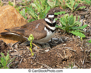 Away from My Kids! - Killdeer on nest screeching