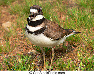 Mad Bird - Killdeer screeching