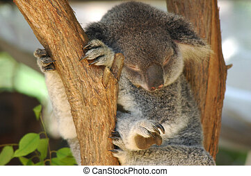 Taking A Break - koala sleeping in a tree