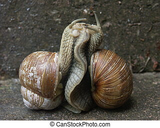 Amorous Snails - Two Escargots (helix promatia) Lots of...