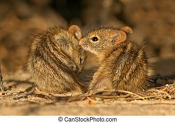 Striped mice  - Two striped mice