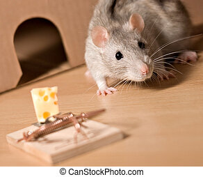 rat and cheese - rat  and mousetrap with cheese