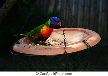 Parrot Feeding from a Hanging Bowl