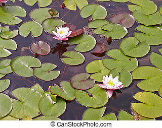 water lily - OLYMPUS DIGITAL CAMERA water lily - flowers and...