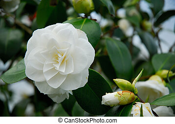 White Innocence - White Camellia in early spring