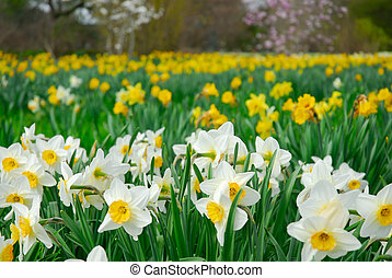 A field of daffodils - Thousands of daffodils on a field in...