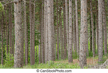 forest management - Red pine trees in a forest management...
