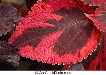 Red and burgundy coleus leaf - Red and burgundy Coleus...