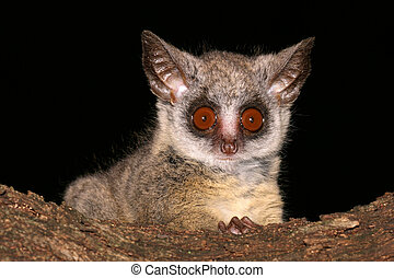 Lesser Bushbaby - Portrait of the nocturnal Lesser Bushbaby,...