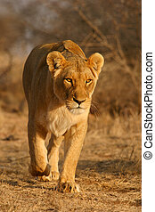 Lioness walking in early morning light, South Africa