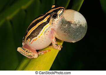 Painted reed frog - Male painted reed frog calling during...