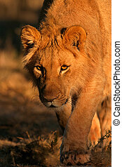 Stalking lion - A young lion stalking in natural environment