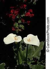 Two Callas - Two Calla Lillies with Bouganvilla in...