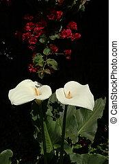 Two Callas - Two Calla Lillies with Bouganvilla in...