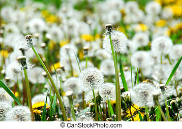 Seeding dandelions - A field of blooming and seeding...