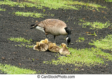 wild goose and chicks