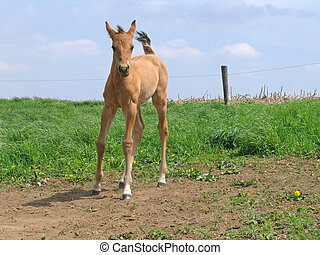 Frisky Foal - Frisky quarter horse foal in the pasture