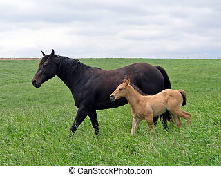 Mare and Foal - Mare and foal walking in the pasture