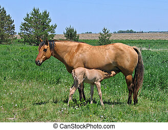 Mare and Foal - Mare letting her foal nurse in the pasture
