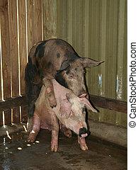 dos, amistoso, cerdos