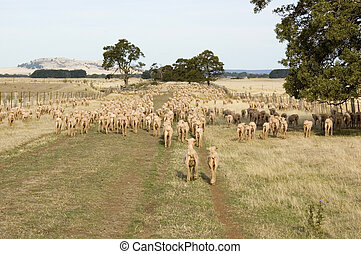 Herding Sheep - Sheep being herded down a long paddock on an...